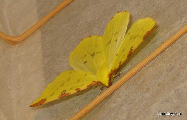 Brimstone moth. © Nick Bailey