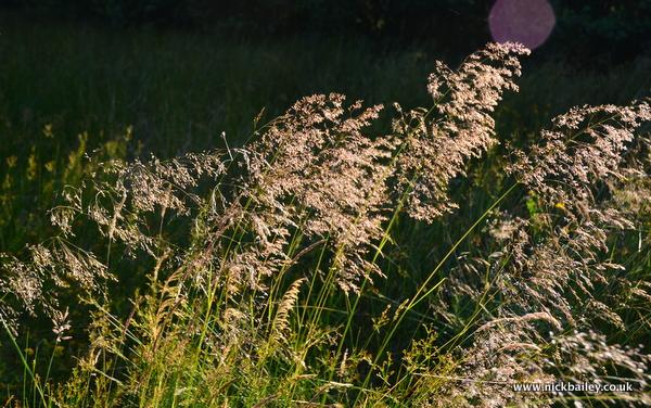 light through tall grass. © Nick Bailey