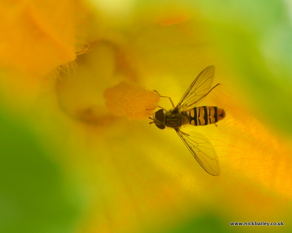 hover fly on courgette. © Nick Bailey