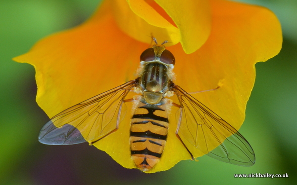 hover fly on californian poppy. © Nick Bailey