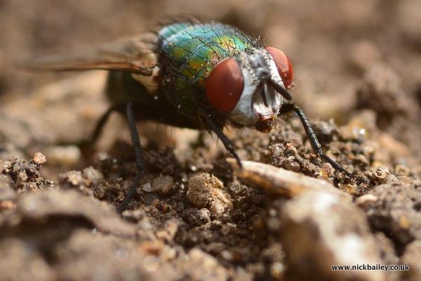 closeup fly on soil. © Nick Bailey