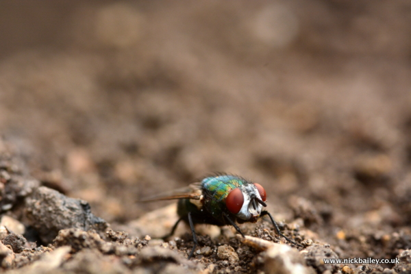 fly on soil. © Nick Bailey