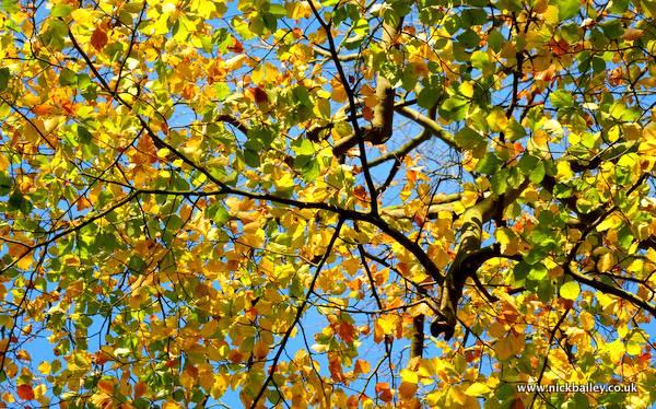 Autumn beech trees. © Nick Bailey