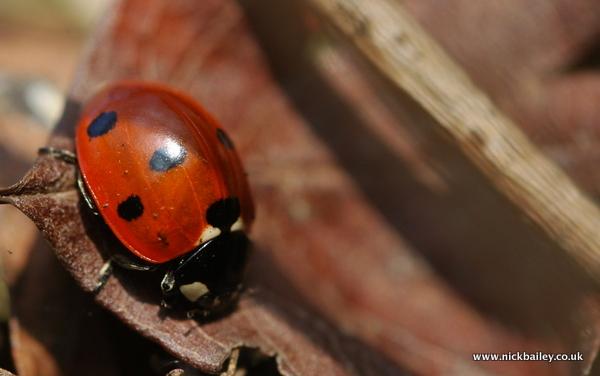 Anglesey Abbey ladybird. © Nick Bailey