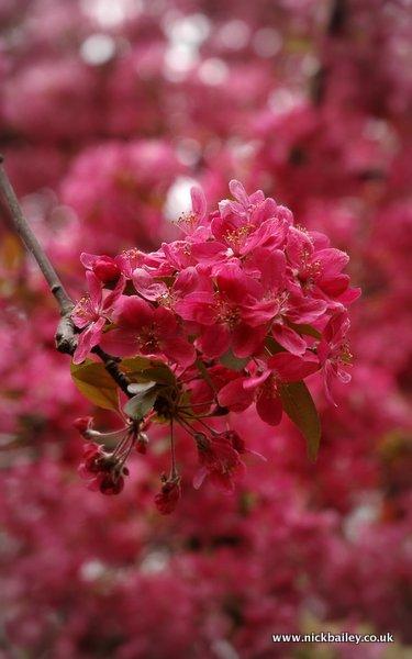 cherry pink. © Nick Bailey