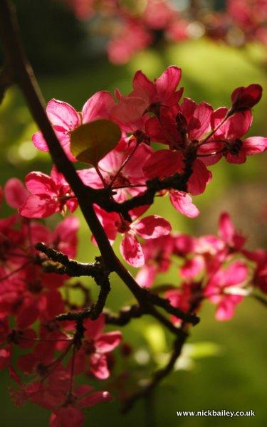 cherry tree with green. © Nick Bailey