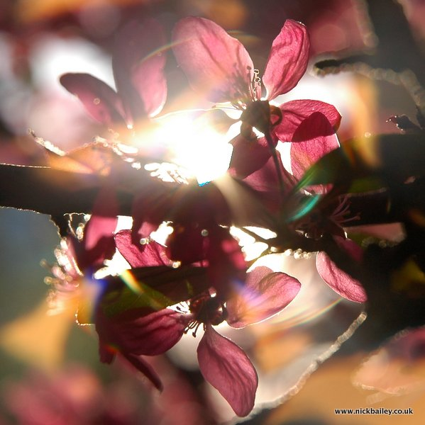 cherry tree with background light. © Nick Bailey